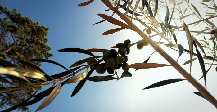 street_olive_tree_torquay_518040